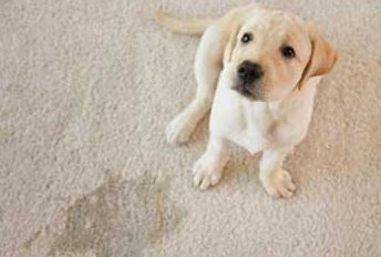 pet odor treatment on your carpets